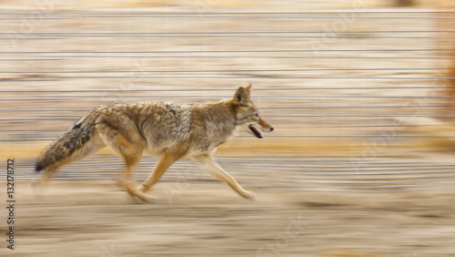 Fotografia Running coyote with motion blur from panning the camera