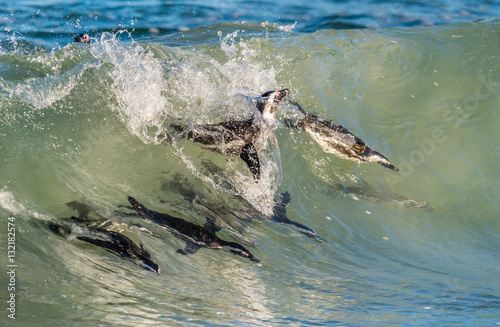 African penguins swimming in ocean wave. The African penguin (Spheniscus demersus), also known as the jackass penguin and black-footed penguin is a species of penguin. South Africa