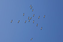 Flock Of Pelicans Flying Overhead In Blue Sky