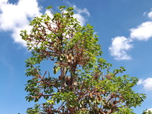 Treetop Of Fig Tree, Planted