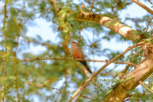 Red-browed Finch, Exotic Bird ...
