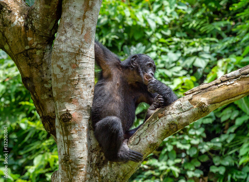 Canvas Prints Panther Close up Portrait of Bonobo Cub on the tree in natural habitat. Green natural background. The Bonobo ( Pan paniscus), called the pygmy chimpanzee. Democratic Republic of Congo. Africa