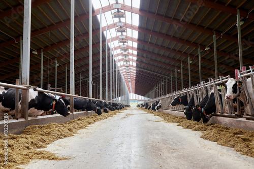 Fotomural herd of cows eating hay in cowshed on dairy farm