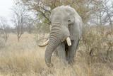 African Elephant (Loxodonta africana), feeding bull, Kruger national park, South Africa.