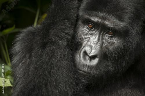 Fotografie, Obraz  Mountain gorilla (Gorilla beringei beringei)