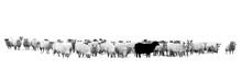 Schwarzes Schaf In Der Schafhe...