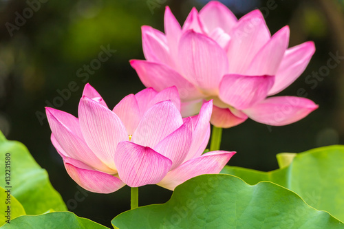 The Lotus Flowerbackground Is The Lotus Leaf And Lotus Flower And