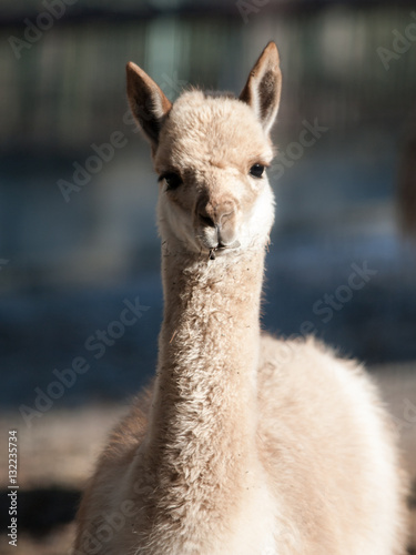 Fotobehang Lama Vicuna, Vicugna vicugna, close-up portrait of wild South American camelid, relative of llama and living high andean areas of Argentina, Bolivia, Chile, Peru and Ecuador
