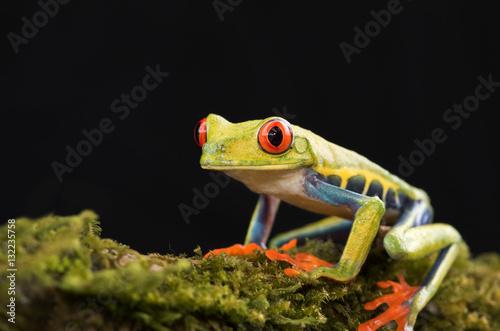 Plakat Przyglądająca się drzewna żaba na gałąź, Costa Rica (Agalychnis callidryas)