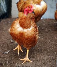 Poultry - Naked Neck Hen Or Pullet