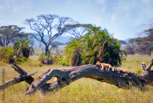 Photo  Lion in the Serengeti National Park