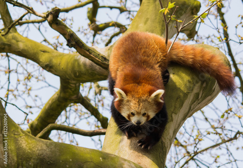 Fotomural Red Panda clambering in a tree