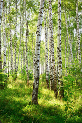 Panel Szklany Skandynawski summer in sunny birch forest