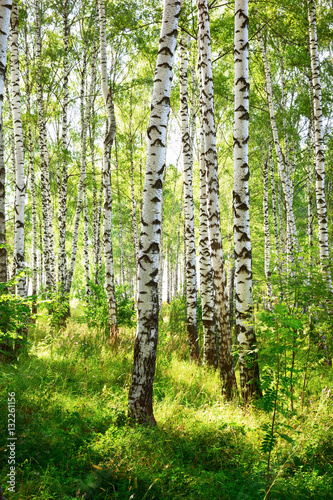 Poster Bossen summer in sunny birch forest