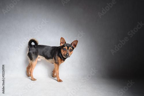 Foto  Mischlingshund lokalisiert im Studio auf weißem Hintergrund