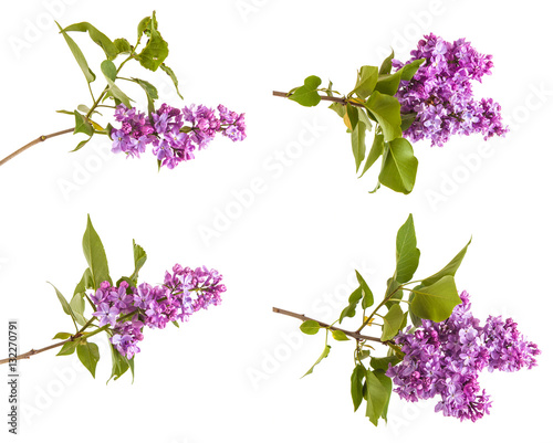 Recess Fitting Lilac branch of blossoming purple lilac. Isolated on white background.