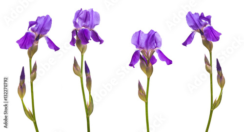 flower purple iris. Isolated on white background. Set