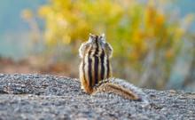 Chipmunk Sitting On A Rock