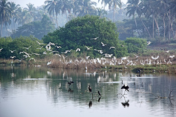 FototapetaFlock of migratory heron and stork birds flying and settling on a lake in the winter morning for feeding in Goa, India