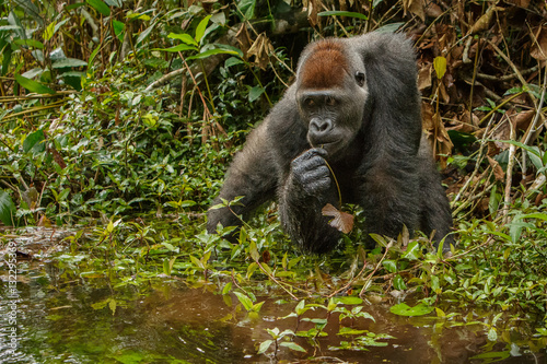 Cuadros en Lienzo eastern lowland gorilla in the darkness of african jungle, face to face, great d