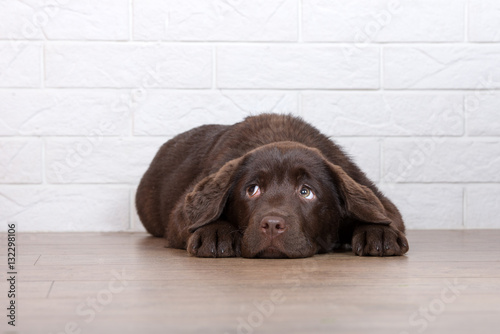Photo  scared labrador puppy lying down on the floor