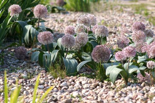 Fototapeta Allium karataviense obraz