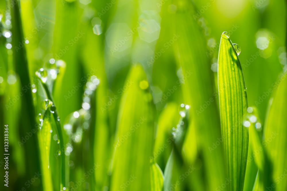 Fototapeta fresh young oats with dew