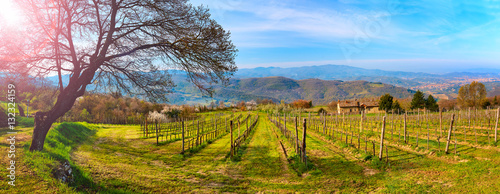 Vineyard in spring with a view of the city of Arezzo Wallpaper Mural