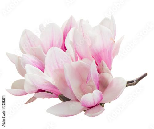 wiazka-magnolii-menchii-kwiaty-odizolowywajacy-na-bialym-tle