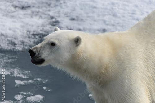 Foto op Aluminium Ijsbeer Polar bear (Ursus maritimus) on the pack ice north of Spitsberg