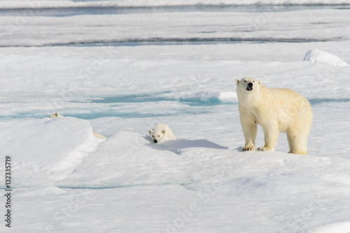 In de dag Ijsbeer Polar bear mother (Ursus maritimus) and twin cubs on the pack ic