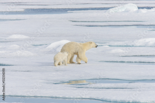 Tuinposter Ijsbeer Polar bear mother (Ursus maritimus) and twin cubs on the pack ic