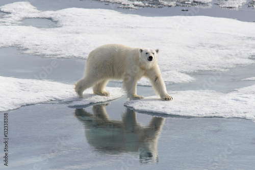 Wall Murals Polar bear Polar bear (Ursus maritimus) on the pack ice north of Spitsberg