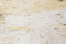 Birch Tree Bark Background