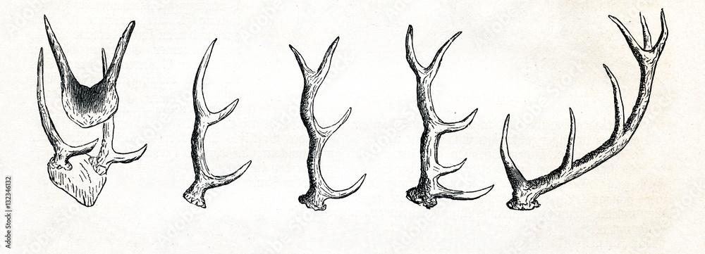 Fotografie, Obraz Growing of red deer (Cervus elaphus) antlers (from Meyers Lexikon, 1895, 7/513)