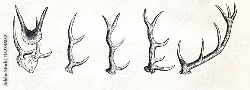 Foto Growing of red deer (Cervus elaphus) antlers (from Meyers Lexikon, 1895, 7/513)