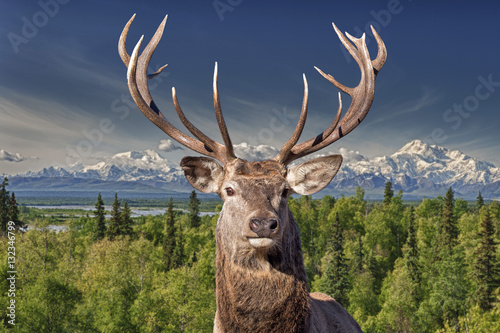 male red Deer portrait looking at you on alaska denali mc kinley