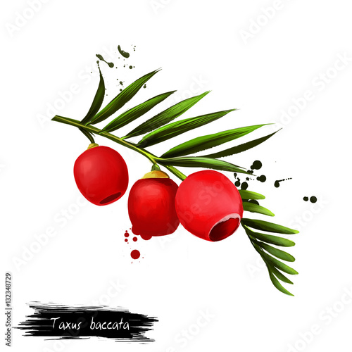 Taxus baccata fruit isolated on white  Digital art