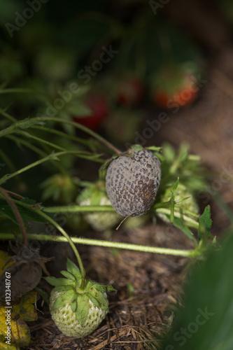 Fotografie, Obraz  bush of strawberry