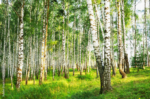 Printed kitchen splashbacks Birch Grove summer in sunny birch forest