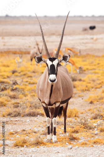 Papiers peints Antilope Front view of gemsbok, gemsbuck, Oryx gazella, antelope. Native to the Kalahari Desert, Namibia and Botswana, South Africa.