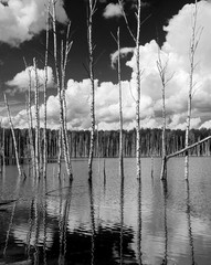 Panel Szklany Podświetlane Czarno-Biały Reflection of the birch-trees in the water of the pond - Russia (black and white)
