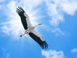 canvas print picture - Weißer Storch (ciconia ciconia) fliegt in blauem Himmel mit der Sonne im Rücken