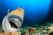Titan Triggerfish Fish Portrait Scuba Divers In Background