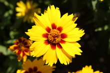 """Yellow """"Lance-leaved Coreopsis"""" Flower (or Lanceleaf Tickseed, Sand Coreopsis) In St. Gallen, Switzerland. Its Latin Name Is Coreopsis Lanceolata, Native To Eastern North America."""