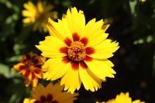 "Yellow ""Lance-leaved Coreopsis"