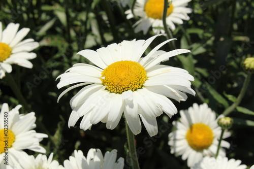 """Fotografie, Obraz  White and yellow hybrid """"Shasta Daisy"""" flower in St"""