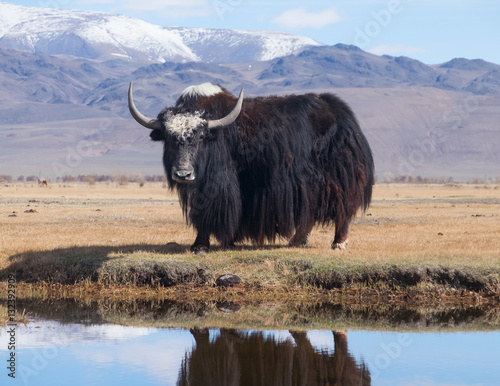 Obraz Black yak - fototapety do salonu