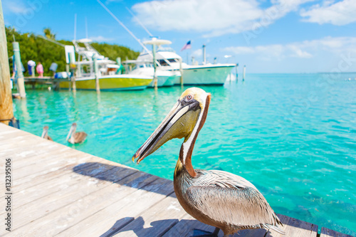 Valokuva  Big brown pelicans in Islamorada, Florida Keys