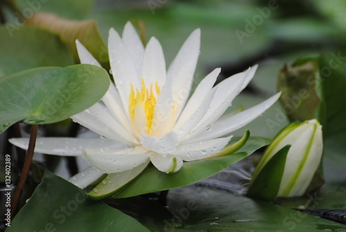 Foto op Canvas Lotusbloem Белая лилия на воде